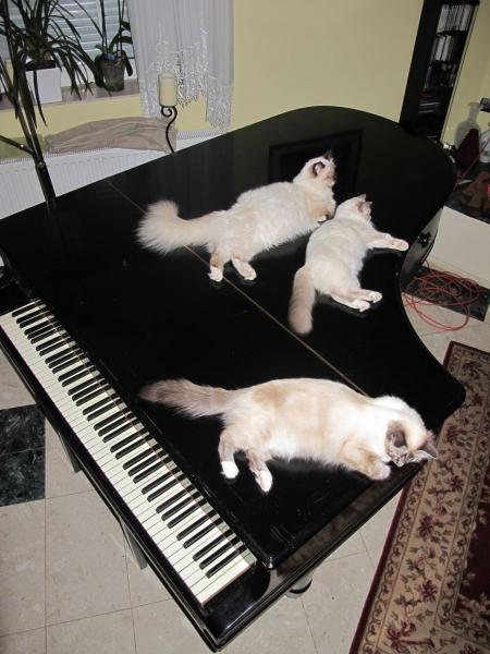 Zongora Birman cicákkal