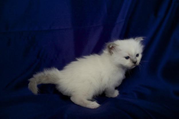 Sábacat Felice is 4 weeks old