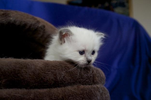 Blue Point  Birman kitten
