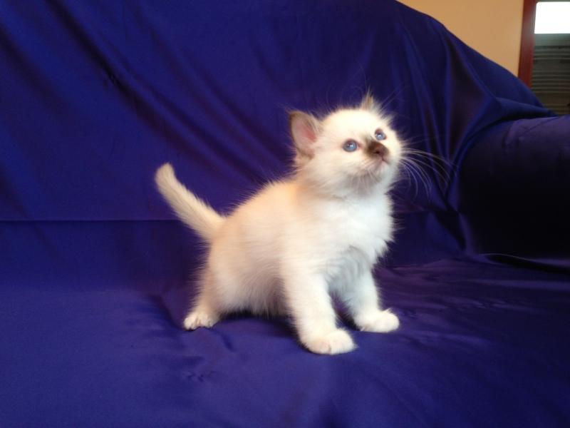 chocolate Point SBI b kitten