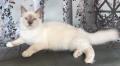 luxory cat